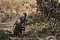 Baboon, Ruaha National Park (3) (28618479652).jpg