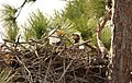 Baby Bald Eagle in nest (cropped).jpg