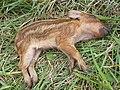 Baby hog found next to her deceased mother still alive - panoramio.jpg