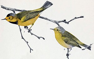 Bachman's warbler - Male (above) and female, by Louis Agassiz Fuertes