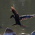 Backlit cormorant coming in to land (36861644734).jpg