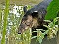 Baird's Tapir (Tapirus bairdii) (6788725593).jpg