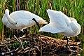 Balancing Act Trumpeter Swan Preening Seedskadee NWR 01 (15090749816).jpg