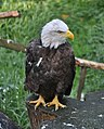 Bald eagle (Haliaeetus leucocephalus).JPG
