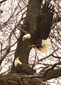 Bald eagle at its nest (5278274222).jpg