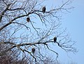 Bald eagles perched by the Mississippi River (16196089887).jpg