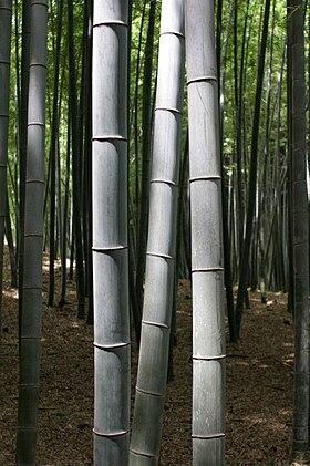Bambusskov i Kyoto, Japan