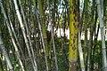 BanZhu Bamboo.jpg