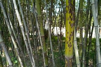 Xiangshuishen - Image: Ban Zhu Bamboo