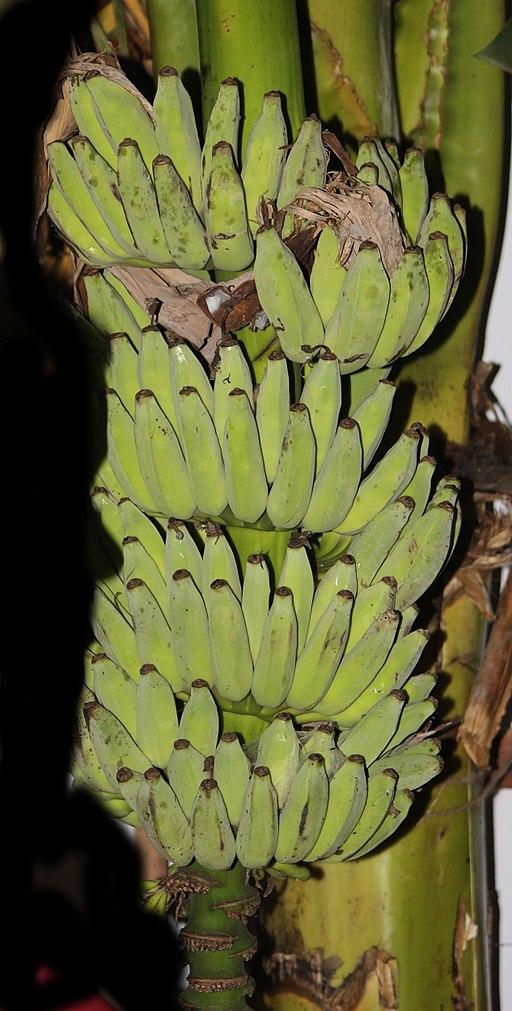 Banana Pisang Awak of Thailand