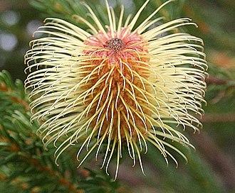 Banksia pulchella - B. pulchella, in cultivation at Kings Park