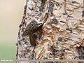 Bar-tailed Tree-creeper (Certhia himalayana) (39578754992).jpg