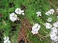 Baramati, Maharashtra, India. 32 flowering plant.jpg