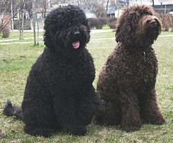 Dog Breeds Curly Ears