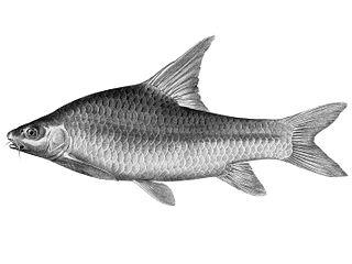 species of barb