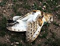 Barn Owl (433087772).jpg