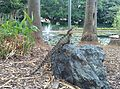 Basking Australian water dragon in City Botanic Gardens Brisbane Australia.jpg