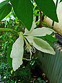 Bauhinia aculeata grandiflora 001.JPG