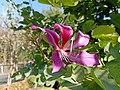 Bauhinia purpurea in Bhopal 3.jpg