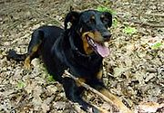 Beauceron Red Stocking