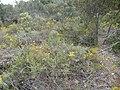 Beaufortia purpurea (habit).JPG