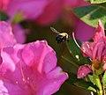 Bee handheld with Nikon 200mm. micro. (49513693518).jpg