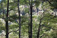 Beech trees southern North Island New Zealand.JPG