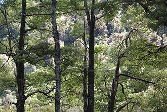 Nothofagus - Beech trees in New Zealand