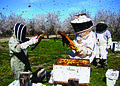 Beekeepers inspect their colonies in a California almond orchard.jpg
