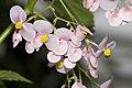 Begonia.naumoniensis.7083.jpg