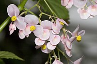 Begonia.naumoniensis.7083