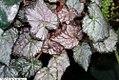 Begonia Pink Surprise 1zz.jpg