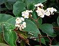 Begonia epipsila.jpg