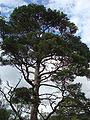 Beinn Eighe Pinus sylvestris 6.jpg