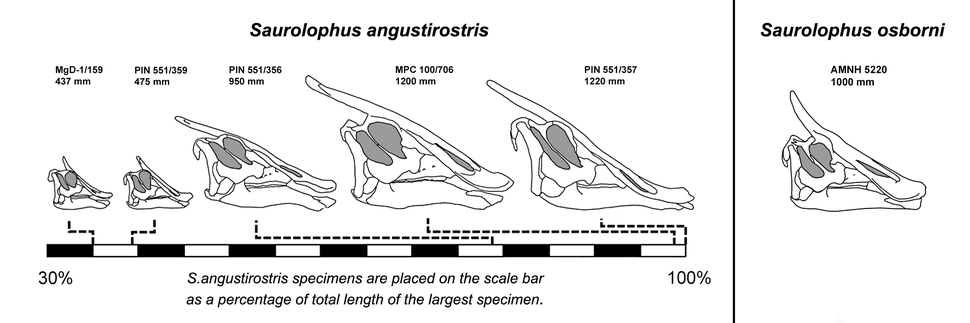 Bell-2011-Saurolophus-Cranial-Ontogeny