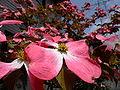 Benthamidia florida 0001.JPG