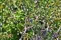 Berberis microphylla-CTJ-IMG 7210.jpg