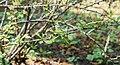 Berberis thunbergii in La Jaysinia (4).jpg