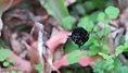 Besouro no Jardim Botatânico.jpg