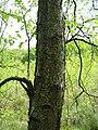 Betula pubescens ssp glutinosa rinde.jpeg