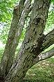 Betula schmidtii trunk.jpg