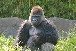 Big Male Gorilla.jpg