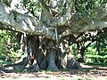 Big tree - panoramio.jpg