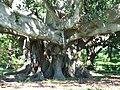 Big tree - panoramio.jpg