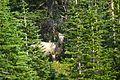 Bighorn ram (4498105566).jpg