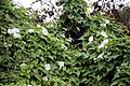 Bindweed Clavering Essex England 1.jpg