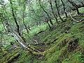 Birch woodland on Carn Mor - geograph.org.uk - 1563520.jpg
