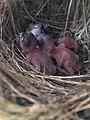 Birdies of Chestnut munia.jpg