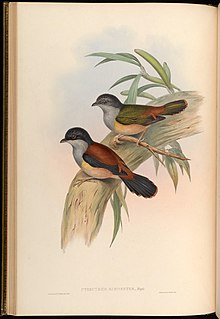 Black-headed Shrike-babbler Biodiversity Heritage Library.jpg