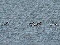 Black-necked Grebe (Podiceps nigricollis) (39905558410).jpg